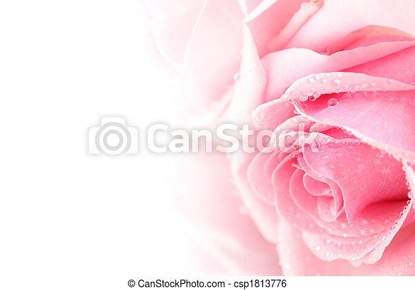 rózsaszínű rózsa - csp1813776