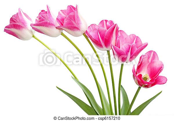 rózsaszínű, tulipánok - csp6157210
