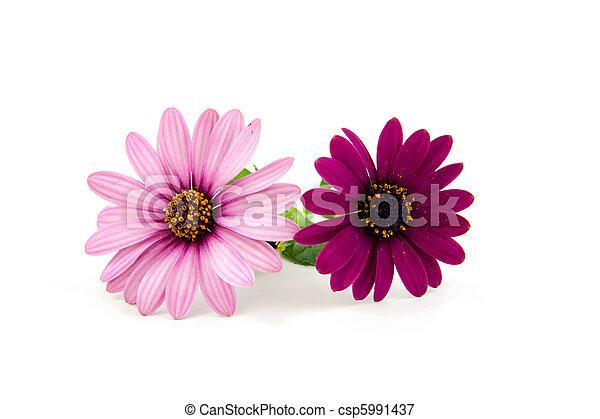 rózsaszínű virág, két, százszorszép - csp5991437