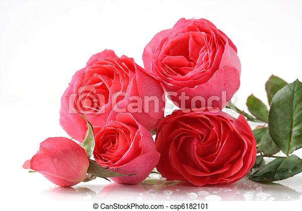 rózsaszín rózsa - csp6182101