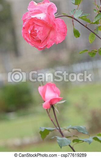 rózsaszín rózsa - csp77619289