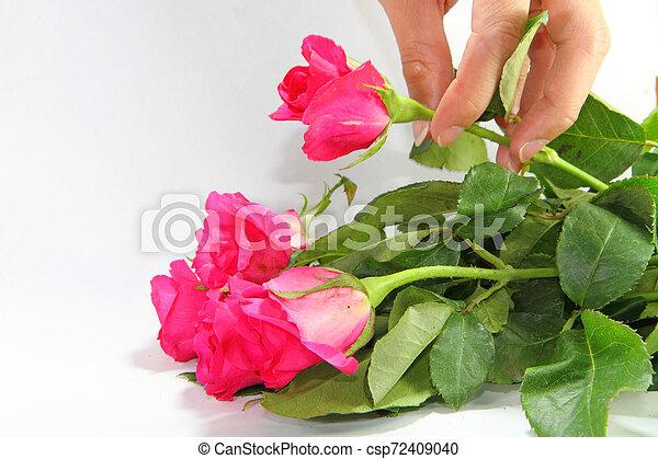 rózsaszín rózsa - csp72409040