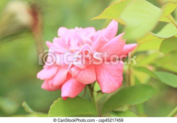 rózsaszín rózsa - csp45217459