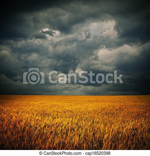 sötét felhő, felett, búza terep - csp16520398