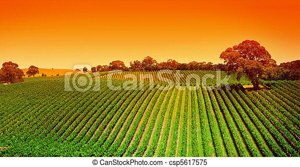 szőlőskert, dombok, napkelte - csp5617575