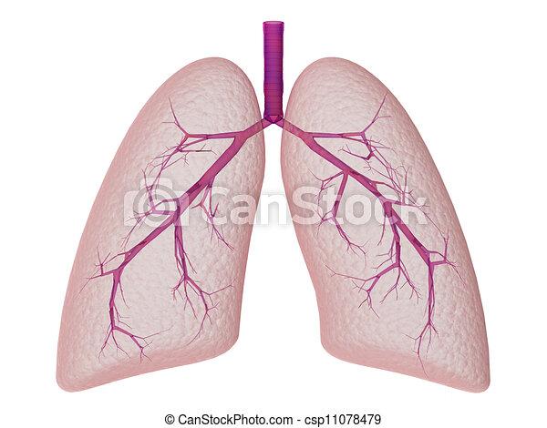 tüdő - csp11078479