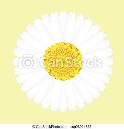 virág, elszigetelt, sárga háttér, százszorszép, fehér - csp26024633