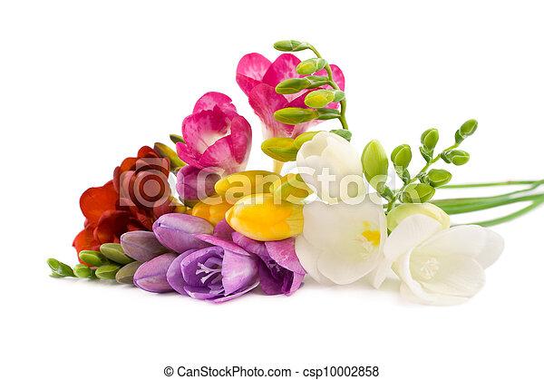 virágzó, freesia. - csp10002858
