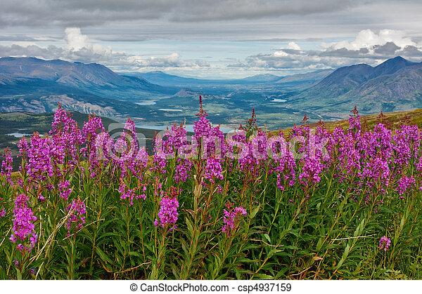 virágzó, tüzifa, yukon - csp4937159
