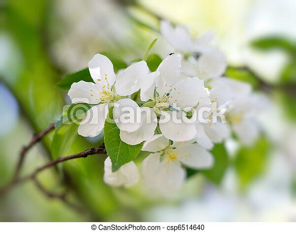 white virág, virágzó - csp6514640
