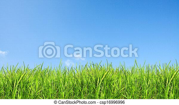 zöld, világos, fű, ég - csp16996996